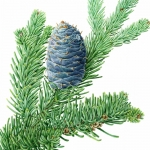 Abies lasiocarpa / Subalpine Fir