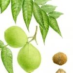 Juglans nigra / Black walnut