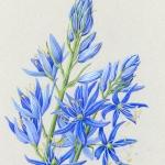 Camassia quamash / Blue Camas