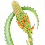 Aloe arborescens / Candelabra Aloe