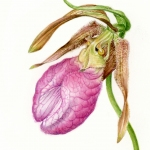 Cypripedium acaula / Lady Slipper Orchid
