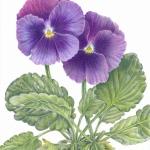 Viola tricolour hortensis /  Pansy