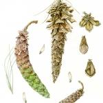 Pinus alba / White Pine