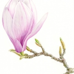 Magnolia soulangeana / Magnolia