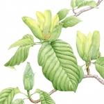 Magnolia acuminata / Cucumber tree