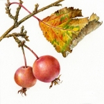 Malus baccata / Crab apple