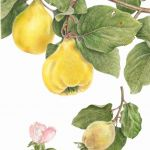 Heirloom Portuguese quince