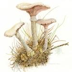 Armillaria mellea / Honey mushroom with lichen