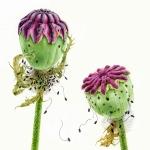 Papaver orientalis / Poppy seed heads