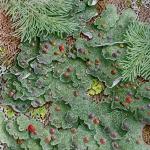 Boreal felt lichen