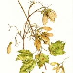 Acer glabrum /Rocky Mountain Maple