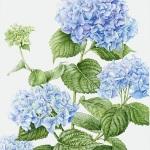 Hydrangea macrophylla / Big Leaf Hydrangea