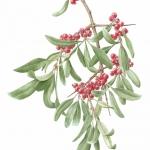 Shepherdia argentea / Buffalo Berry