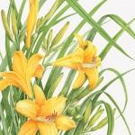 Hemerocallis / Day Lily