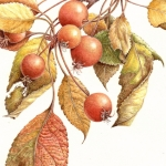 Malus baccata / Siberian Crab Apple
