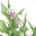 Cypripedium reginae / Showy lady Slipper