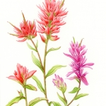 Castelleja coccinea / Indian Paintbrush