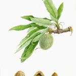 Prunus dulcis / Almond