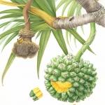 Pandanus utilis / Screw pine