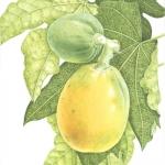 Carica Papaya / Bermuda Paw-paw