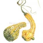 Cucurbita pepo / Ornamental Gourd