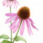 Echinacea purpurea / Purple Cone Flower