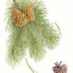 Pimus contortus / Lodgepole Pine