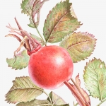 Rosa canona / Rose Hip