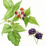 Rubus occidentalis